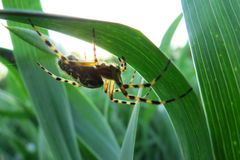 Cross spider in big close up Royalty Free Stock Photos
