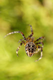 Cross spider Stock Images