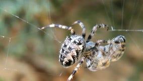 Cross spider caught wasp. Cross spider Araneus diadematus caught wasp in his web stock footage