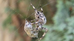 Cross spider caught wasp in his web stock video footage