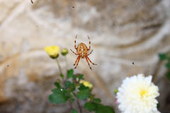 Cross Spider Close Up Royalty Free Stock Photography