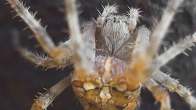 Cross spider close up. Cross spider macro shot outdoors stock video footage