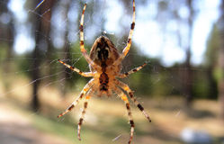 CROSS SPIDER IN THE COBWEB Royalty Free Stock Image