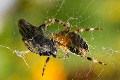 Cross spider Stock Photos