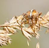 Cross spider on ear Stock Photo