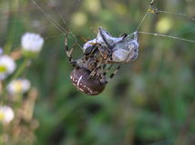 Cross spider eat bee. Cross spider, The European garden spider, diadem spider, cross orbweaver, Araneus diadematus, four-spot orb-weaver Royalty Free Stock Photography