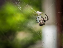 Cross spider eating his prey. Selective focus with shallow depth of field. Royalty Free Stock Image