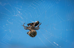 Cross spider eating his prey. Royalty Free Stock Images