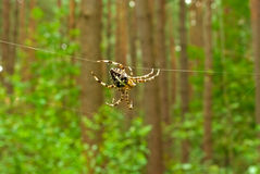 Cross spider on forest background Stock Images