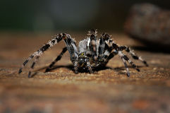 Cross spider on the ground Stock Photography