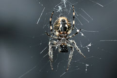Cross spider. Hairy cross spider sitting on its network on a dark graphite background blurred Royalty Free Stock Image