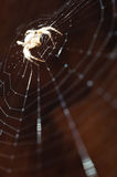 Cross spider Stock Photos