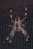 Cross Spider. An insect called the Cross Spider, also known as the Cross Orb Weaver Royalty Free Stock Photo