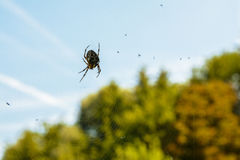 Cross spider on its cobweb Royalty Free Stock Photo