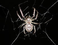 Cross spider in its web Stock Photo
