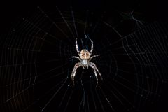 Cross spider in its web Royalty Free Stock Images