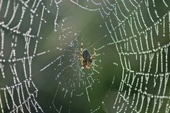 Cross spider in its web. European garden spider in the center of its dewy web Royalty Free Stock Photos