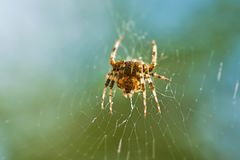 Cross spider in its web. Waiting for prey Royalty Free Stock Photo