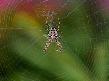 Cross spider in its web waiting for the victim. Stock Photography