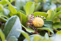 Cross spider on a leaf Stock Images