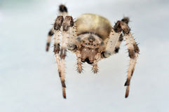 Cross spider looking into lens Royalty Free Stock Images