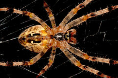 Cross-spider. Royalty Free Stock Image