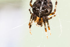 Cross spider macro. A macro shot of a cross spider atop a spider web, taken from above Royalty Free Stock Photo