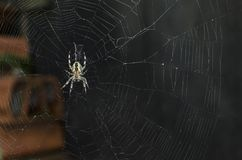 Cross spider on the net Royalty Free Stock Photography