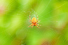 Cross spider sitting on web. Green colorful background stock photo