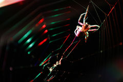 Cross Spider Stock Image