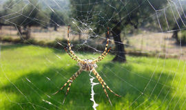 Cross spider in spider net Royalty Free Stock Image