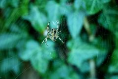 Cross Spider in Spiderweb. A cross spider sitting in the middle of its spiderweb in fall Royalty Free Stock Image