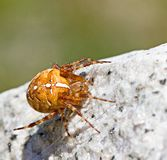 Cross spider on stone by day Stock Photography