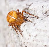 Cross spider on stone by day Royalty Free Stock Photo