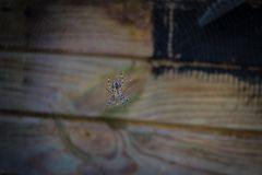 A cross spider in her spider web. A cross spider is waiting of her prey in the centre of her spider web Royalty Free Stock Image