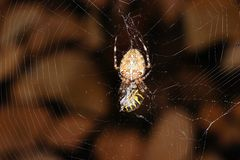 Cross spider and wasp Stock Image