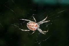 Cross spider Royalty Free Stock Photo