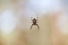 Cross spider on web Stock Photography