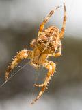 Cross spider in web Royalty Free Stock Photo