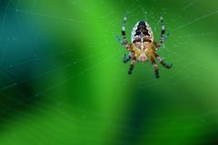 Cross spider on web. Brown european garden spider on web with green blurred background Stock Image