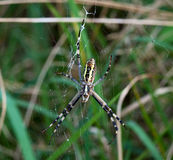 Cross spider in web Royalty Free Stock Image