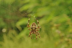 Insect. Cross spider on the web. Insect. Closeup of a cross spider, awaiting prey in its web Stock Photo