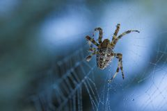 Cross Spider in web Garden useful insect. Close up Royalty Free Stock Photo