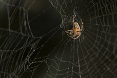 Cross Spider in web Garden useful insect. Close up Royalty Free Stock Image