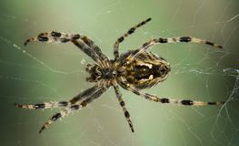 Cross Spider in web Garden useful insect. Close up Royalty Free Stock Images
