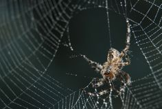 Cross Spider in web Garden useful insect. Close up Stock Photography