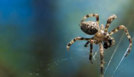 Cross Spider in web Garden useful insect. Close up Royalty Free Stock Photography