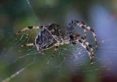 Cross Spider in web Garden useful insect. Close up Stock Images