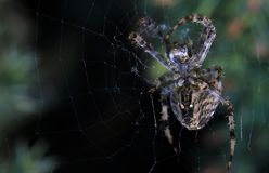 Cross Spider in web Garden useful insect. Close up Stock Photo