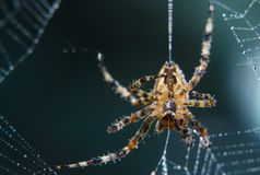 Cross Spider in web Garden useful insect. Close up Royalty Free Stock Photos
